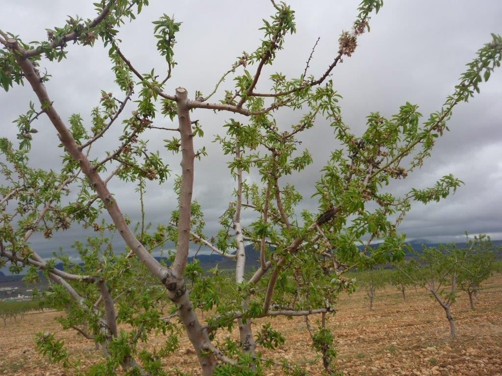 Almendro variedad glorieta en Chirivel (media cosecha)