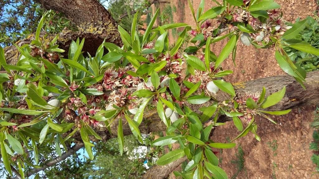 Detalle variedad Ferranduel, diferentes estados de crecimiento del fruto