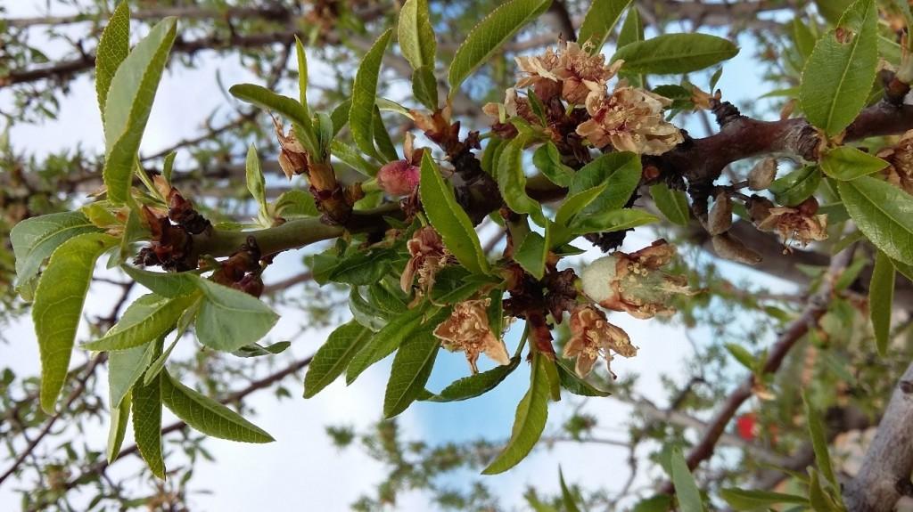 Detalle variedad Guara, fruto en crecimiento y resto de flores heladas