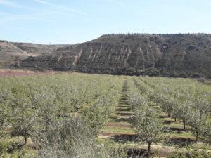 Detalle de plantación de Marinada en Zaidín (Huesca).